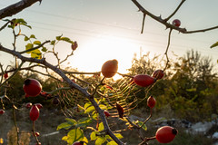 Rosehips (f4r4g0) Tags: spiderweb forest nature rosehip