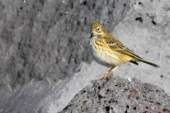 Þúfutittlingur - Meadow Pipit - Anthus pratensis (oskar.sigurmundason) Tags: þúfutittlingur meadow pipit anthus pratensis iceland island nikon d500 sigma 150600 national geographic ngc birds bird birding passeriformes fuglar