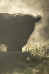 Heb ik een zwarte beer gespot in ons dorp? (look to see) Tags: galloway rund mariahof natuurreservaat beek bree belgium mist goldenhour koud cold