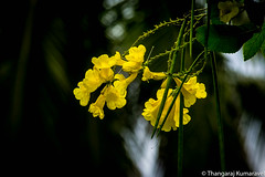 Yellow Bells (Kumaravel) Tags: lr bokeh tecomastans kumar crop leaf kumaravel trumpetflower dof solakkarai seedpods walayar flora kerala enviheals tree blossom india green coimbatore yellow nature flower