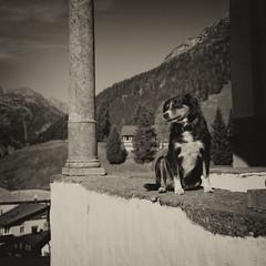 woof! (Toni_V) Tags: m2409528 rangefinder digitalrangefinder messsucher leicam leica mp typ240 type240 28mm elmaritm12828asph andermatt dog hund dof bokeh alps alpen uri square monochrome sep2 silverefexpro2 niksoftware switzerland schweiz suisse svizzera svizra europe ©toniv 2018 181019
