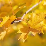 _MG_5351 - Maple leaves thumbnail