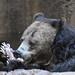 Grizzly Bear - San Diego Zoo