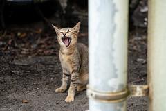 猫 (fumi*23) Tags: ilce7rm3 sony katze gato neko cat chat animal a7r3 yawn 85mm fe85mmf18 sel85f18 ねこ 猫 ソニー あくび emount