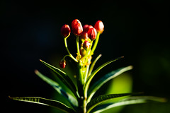 2018-267 Buds (Michael_Soliman) Tags: 2018 plant macro year7 flower project365 sanluisobispo california unitedstates us