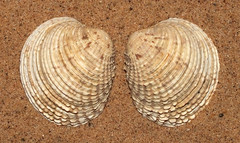 Warty venus clam (Venus verrucosa) (shadowshador) Tags: warty venus clam verrucosa neomura eukaryota opisthokonta holozoa filozoa animalia eumetazoa bilateria protostomia lophotrochozoa mollusca conchifera bivalvia heterodonta euheterodonta veneroida veneroidea veneridae conchology malacology invertebrate invertebrates taxonomy scientific classification biology sea shell shells sand sandy beach wildlife life