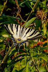 Solo...una...sureña...... (pp diaz) Tags: animal bicho insecto mariposa butterfly sur costaballena rota cádiz andalucía españa luz color