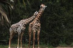 201810132018IMG_0491_Zoo_FB (Sweetleavins) Tags: red zoo animals wildlife travel close eyes giraffe animal parent mother child