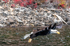 Bald Eagle slows for the grab