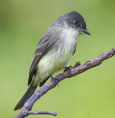Flycatcher? (Yer Photo Xpression) Tags: ronmayhew canoneos6dmarkii bird