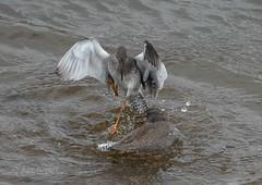 Redshank fight (photofiendish) Tags: burryport wales unitedkingdom gb