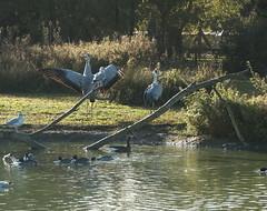 Two cranes (AN07) Tags: slimbridge crane