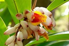 Opening Soon (adamsgc1) Tags: nature flower botanicalgardens brisbane yellow white alicestreet ginger
