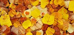 - under the tulip tree - (Jac Hardyy) Tags: under tulip tree liriodendron tulipifera poplar whitewood fiddletree autumn magnolia leaf leaves brown yellow russet foliage season herbst herbstlaub laub blatt blätter gelb braun rostfarben herbstfärbung fall