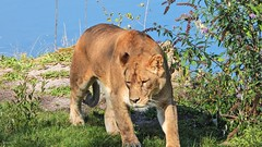 Lionne - 6100 (ΨᗩSᗰIᘉᗴ HᗴᘉS +27 000 000 thx) Tags: p1000 nikonp1000 coolpixp1000 pairidaiza nature lionne fauve animal hensyasmine namur belgium europa aaa namuroise look photo friends be wow yasminehens interest intersting eu fr greatphotographers lanamuroise