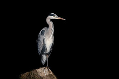 Grey Heron (Linda Martin Photography) Tags: dorset wildlife ardeacinerea bournemouth nature bird northbourne greyheron riverstour stourvalley blackbackground uk animal naturethroughthelens coth coth5 ngc alittlebeauty specanimal npc