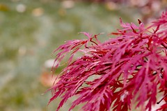 My Japanese Maple in the Fall (Haytham M.) Tags: canada ontario colourful outdoors plant backyard autumn fall japanese mapletree