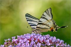 Podalirio. (valpil58) Tags: iphiclidespodalirius podalirio butterflies macro closeup