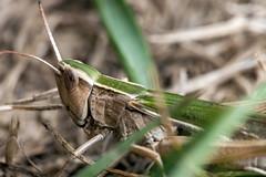 Non-Mutant - _TNY_7164 (Calle Söderberg) Tags: macro canon canon5dmkii canonef100mmf28usmmacro canoneos5dmarkii 5d2 flash meike mk300 glassdiffusor raynox dcr250 insect green beige grasshopper gräshoppa meadowgrasshopper kortvingadängsgräshoppa ängsgräshoppa acrididae caelifera markgräshoppa fältgräshoppa gomphocerinae f22