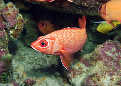 red squirrel (BarryFackler) Tags: marinelife bigislanddiving aquatic animal reef diver sealife tropical saltwater pacificocean 2018 coralreef tahitiansquirrelfish sargocentrontiere alaihi fish vertebrate bluestripesquirrelfish stiere squirrelfish keauhoubay kailuakona northkona keauhou underwater scuba hawaiiisland life island marine water barryfackler sea diving fauna hawaii kona marinebiology nature bay creature zoology westhawaii ecology undersea dive oocean polynesia konacoast hawaiicounty seacreature marineecosystem biology coral hawaiidiving konadiving organism pacific sealifecamera hawaiianislands ocean sandwichislands marineecology barronfackler bigisland being ecosystem outdoor