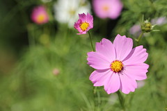 Garden Cosmos flower (Nagarjun) Tags: pelling sikkim northeastindia greenery nature village walk ruralindia nepali