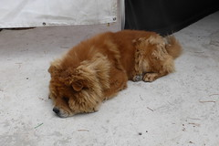 Lion or Dog? (andreboeni) Tags: lion dog chien hund perros chiens dogs hunden cyprus chow chowchow