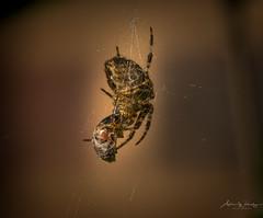 365-2018-276 - Ladybird packed lunch (adriandwalmsley) Tags: ladybird spider