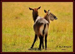 COMMON WATERBUCK (Kobus ellipsiprymus)......MASAI MARA.....SEPT 2017 (M Z Malik) Tags: nikon d3x 200400mm14afs kenya africa safari wildlife masaimara keekoroklodge exoticafricanwildlife ngc npc