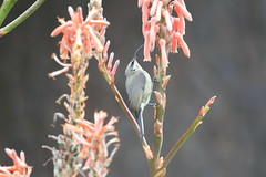 Tacazze Sunbird (jd.willson) Tags: jd willson jdwillson nature wildlife birds birding africa ngorogoro crater highlands sopa lodge tanzania tacazze sunbird sun bird