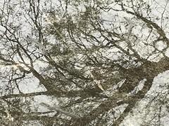 Reflection or reality? (ligiavcrispino) Tags: reflection reflexo árvore tree