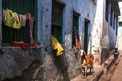 Street scene (Dick Verton ( more than 12.000.000 visitors )) Tags: varanasi blue streetshot goat windows children india asia clothes sunlight traveling