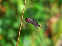 Black Saddlebags (Tramea lacerata) (Gavin Edmondstone) Tags: blacksaddlebags tramealacerata dragonfly insect odonate oakville ontario