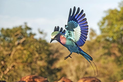 Lilac-breasted roller - Zimanga - South-Afric (wietsej) Tags: lilacbreasted roller zimanga southafric bird sony rx10 rx10m4 rx10iv bif flight africa