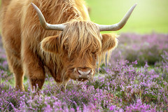 Highland Cow in Heather (Jacky Parker Photography) Tags: highlandcow highlandcattle newforestcattle newforestnationalpark newforesthampshire livestock commonerscattle beautyinnature countryside ruralscene countrylife closeup horizontal nopeople nikond750 uk