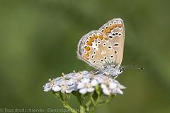 Azuré commun - Common Blue (dom67150) Tags: nature insecte insect butterfly papillon polyommatusicarus azurécommun commonblue
