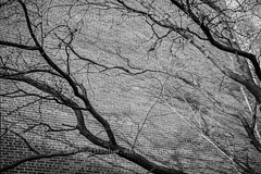 "Tree Branches On Brick - Montreal, Quebec, Canada, 2018 (Photographie Alexi ""Alvin"" Dagher Photography) Tags: 2018 alvin bw backgrounds baretree closeup intense montreal nopeople outdoors photographer photography treetrunk abstract alexidagher bandw blackandwhite bnw branches brickwall bricks dry fineart landscape monochrome nature noone nobody pattern photos pics pictures plant shadows summer sunlight textured trees veins white ©alexidagher"