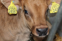 New Life 1 week  today (excellentzebu1050) Tags: livestock newlife newborn birth closeup calf dairycows farm indoors farmer animal animalportraits coth5