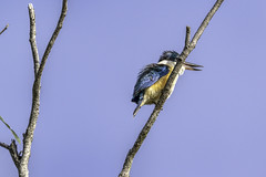 Sacred Kingfisher (Arcus Cloud) Tags: bird birding birdphotography birds birdwatching birdspotting wildlife wildlifephotography wildlifephoto wildlifeandnature wild nature nsw naturalworld naturewatcher natural australia australianwildlife australianbirds animal
