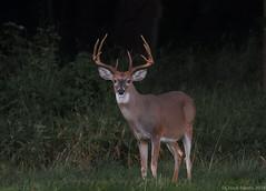 White-tailed Deer (Chuck Hantis) Tags: