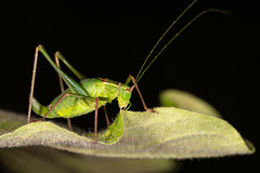 Bushy (CJH Natural) Tags: speckledbushcricket punktiertezartschrecke leptophyespunctatissima insect cricket green black macro makro leaf