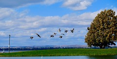 Fall migration (1) (joanneclifford) Tags: xf1855 fujifilmxt20 ottawariver october takeoff flight geese flock migration autumn fall pond ontario nepean ottawa andrewhaydonpark canadageese canadagoose
