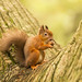 Red Squirrel chewing a nut
