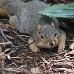 Squirrels in Ann Arbor at the University of Michigan - October 8th, 2018 thumbnail
