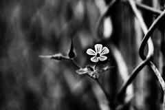 the darker side... (Jess Feldon) Tags: monochrome nature lookslikefilm jessfeldon fencefriday hff happyfencefriday blackandwhite macro flower