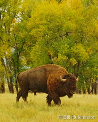 October 10, 2018 - A big, bad bison. (Bill Hutchinson)