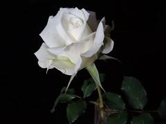 Schönen Sonntag... (Gartenzauber) Tags: garten natur rose makro sony floralfantasy
