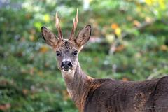 Chevreuil_3339 (Luc Barré) Tags: chevreuil cervidé cerf forêt glands chêne bois chasse landes france estampon losse