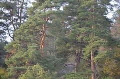 Pines (Annikamy) Tags: trees pine woods annikamy forest wood tree nikon