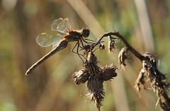 darter (Johnson Cameraface) Tags: 2018 september autumn olympus omde1 em1 micro43 mzuiko 60mm macro f28 johnsoncameraface commondarter darter dragonfly insect