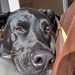 Porträt eines schwarzen Hundes, der seinen Kopf auf ein Kissen gelegt hat
